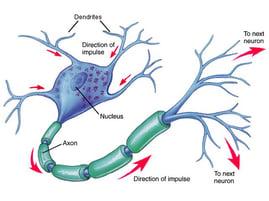 neuron images